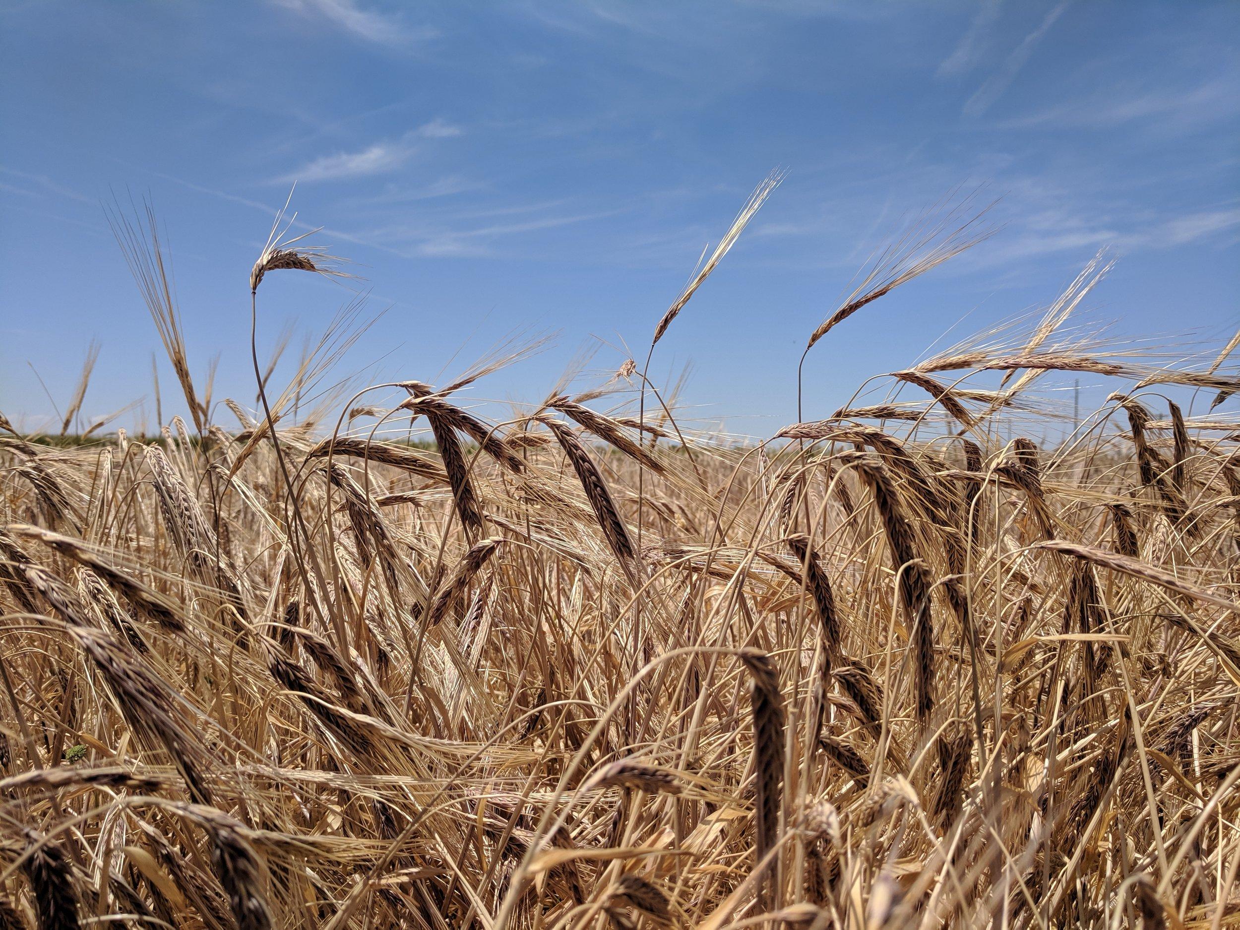 hayden-wheat.jpg