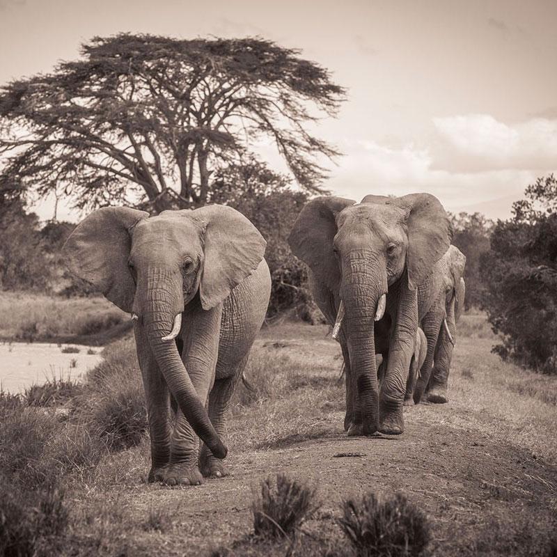 elephants-sepia-zbc.jpg