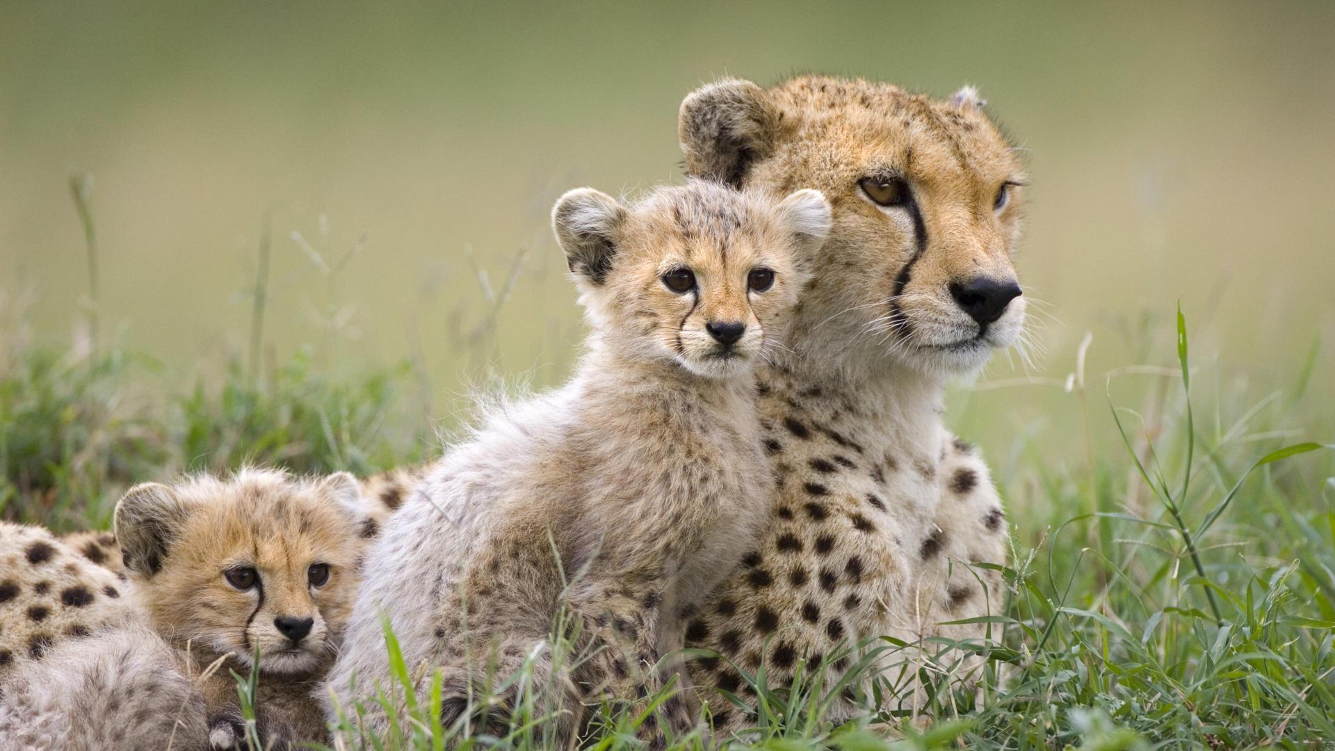 Cheetah-Mother-and-Cubs-Maasai-Mara-Reserve-Kenya-1.jpg