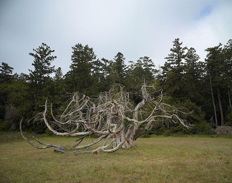 "Markham Johnson, ""Dwarf Giant Sequoia"", size variable to edition, photograph"