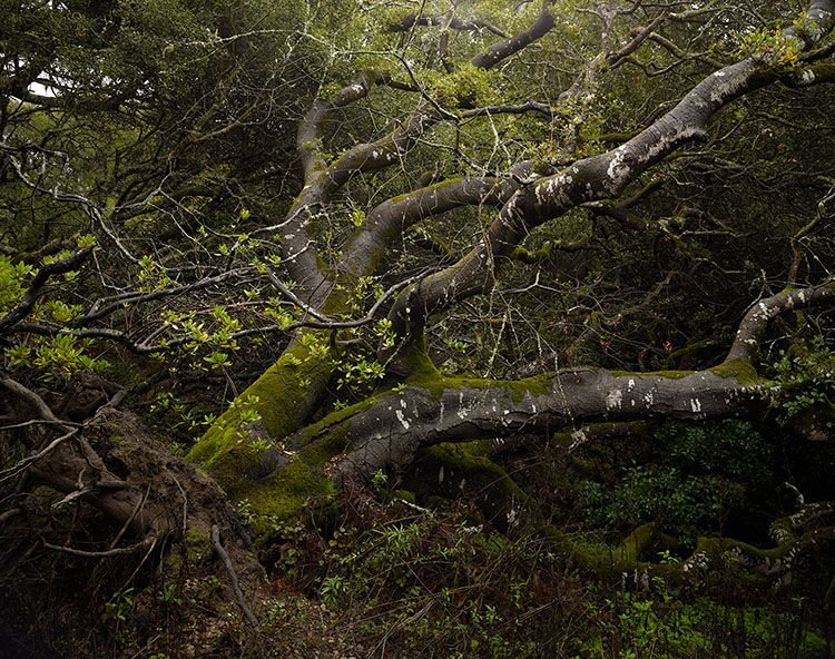 "Markham Johnson, ""Fallen Oak"", size variable to edition, photograph"