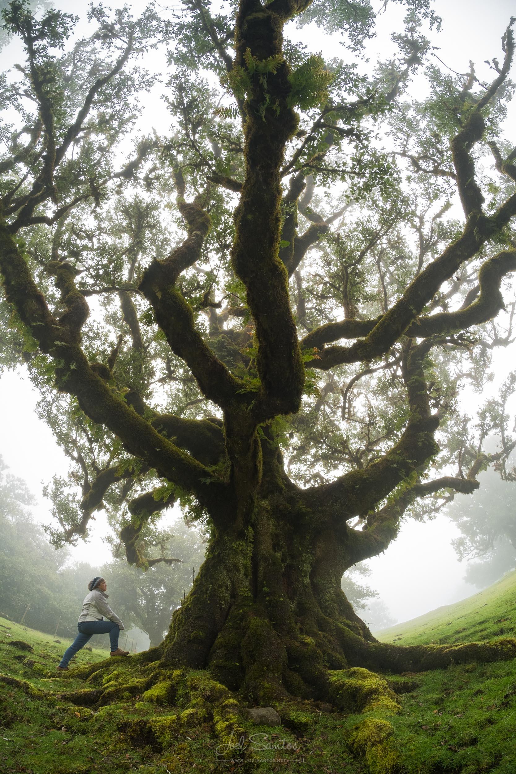Laurissilva trees, Madeira island, Portugal