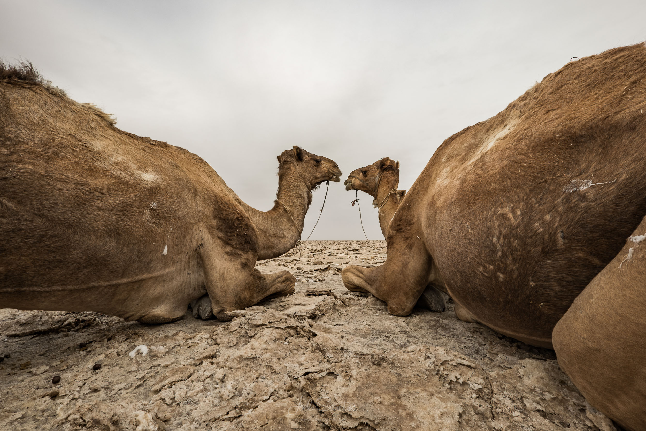 Dromedary waiting to be loaded with salt blocks and tile,  Danak