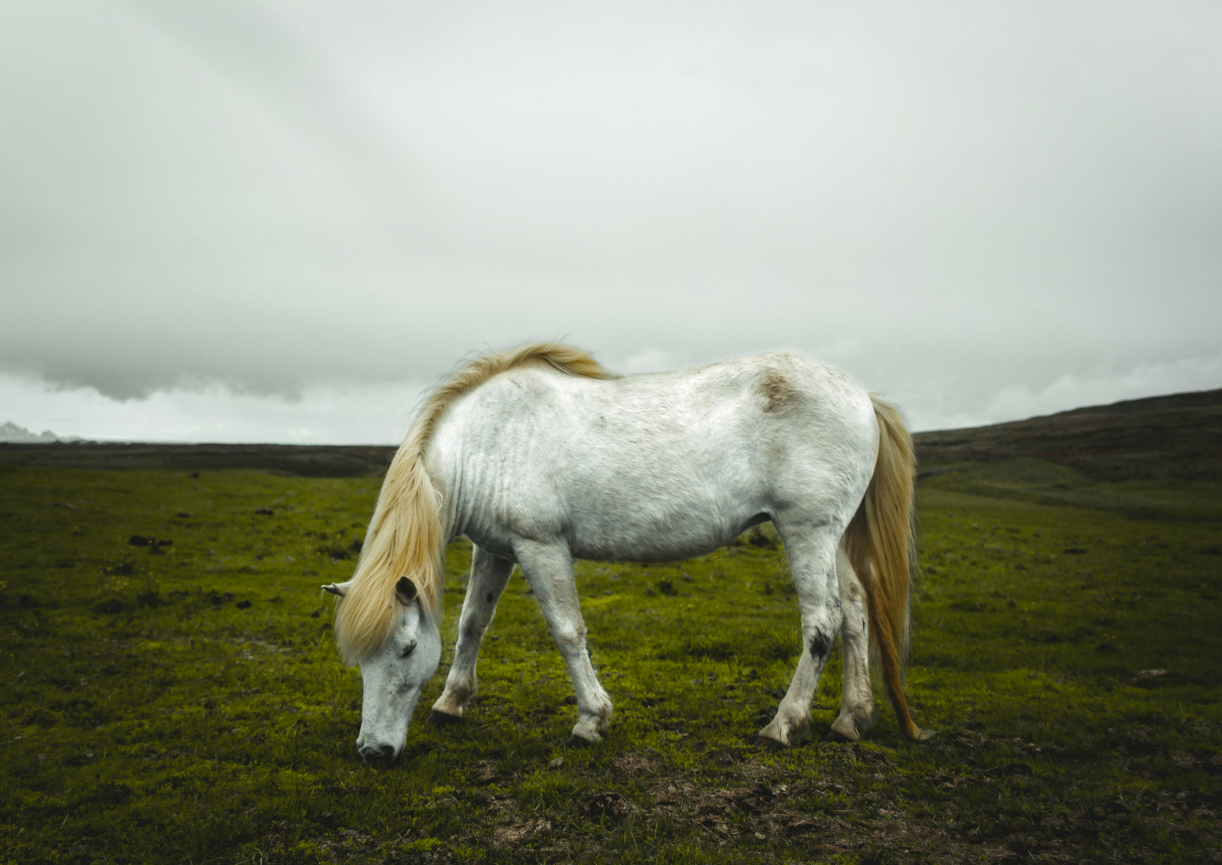 Wild Icelandic Horse