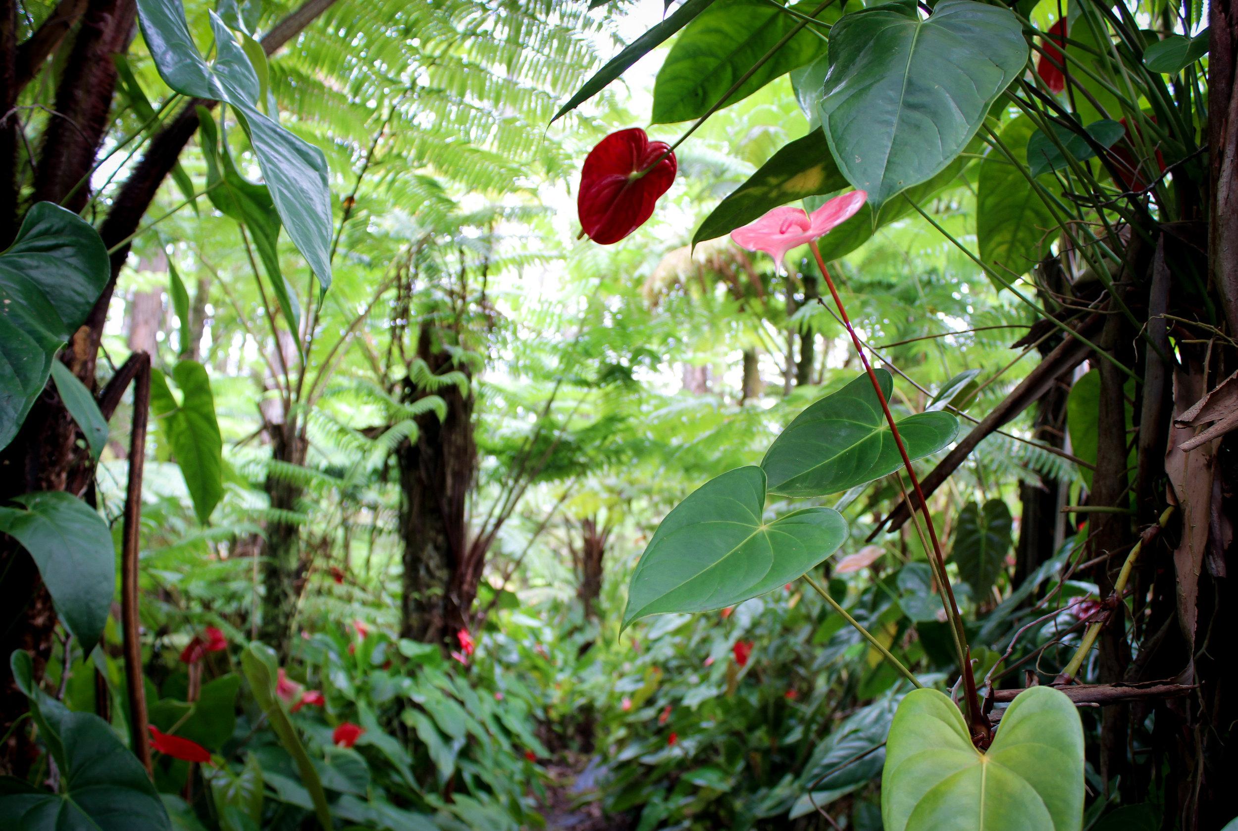 Anthurium Flower hawaii cut.jpg