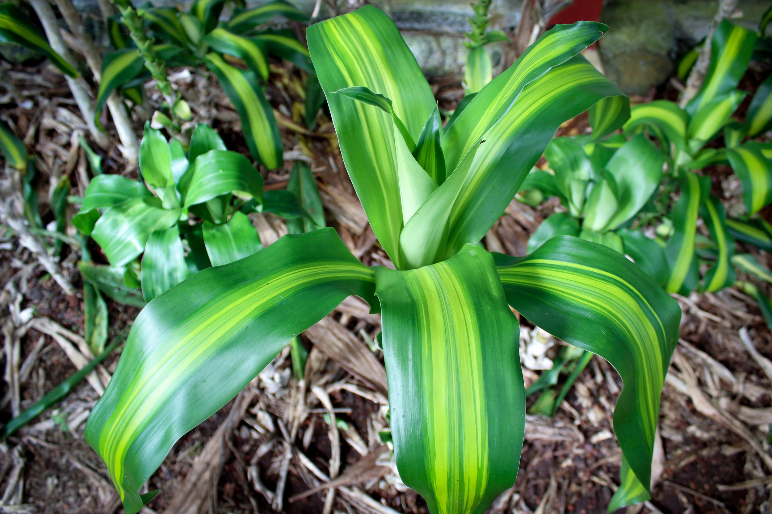 Cornstalk Dracaena Green Leaves