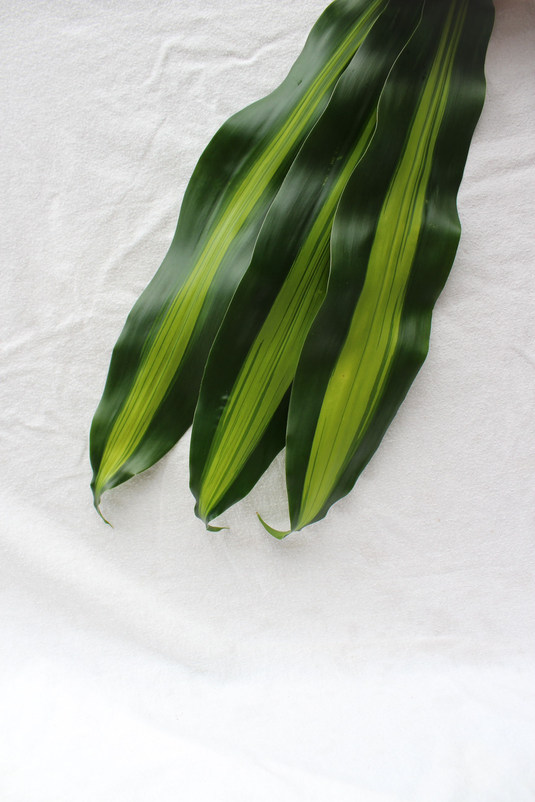 Cornstalk Dracaena Dark and Light Green