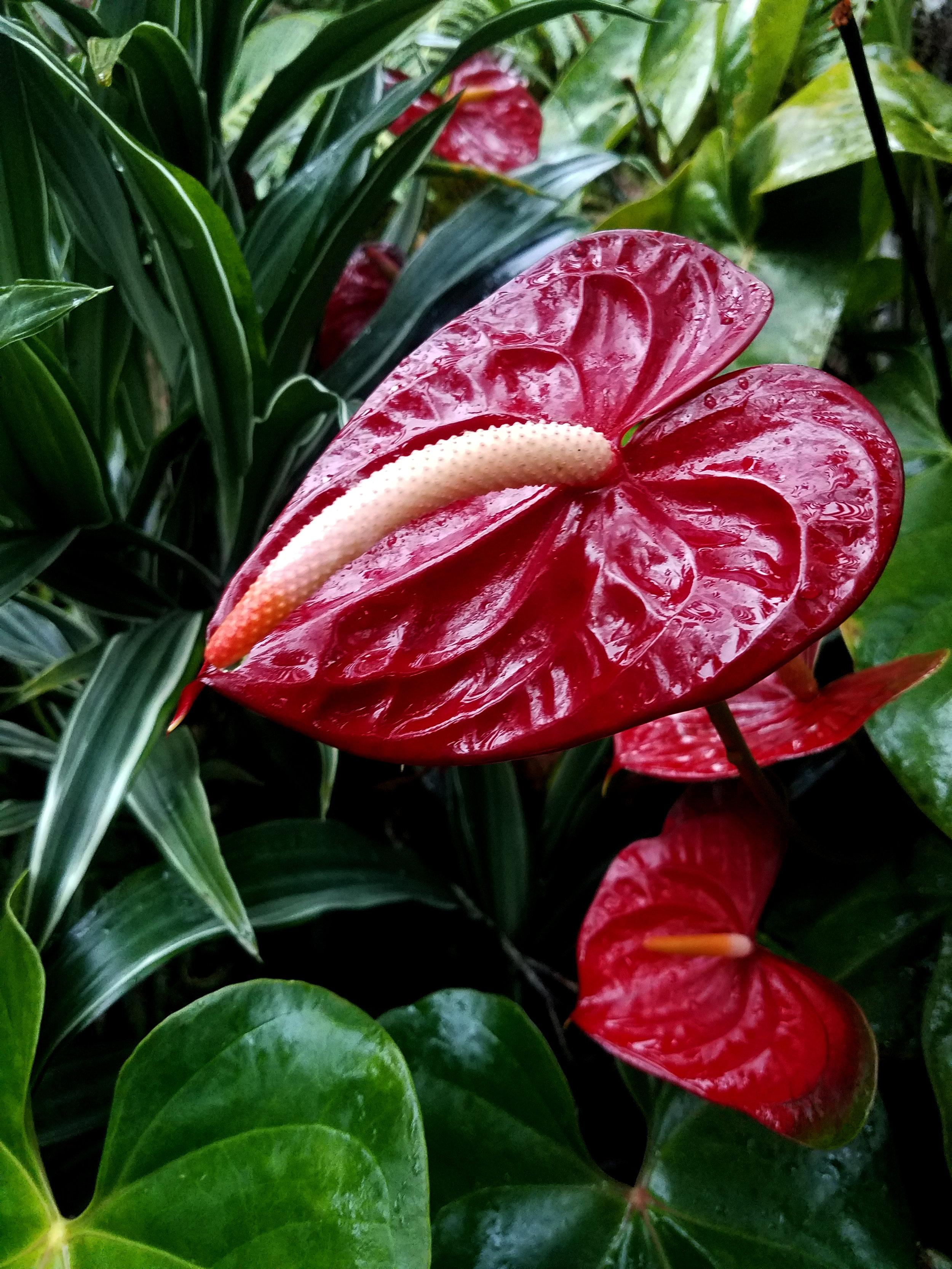 Red Anthurium Hawaii Always Anthuriums.jpg