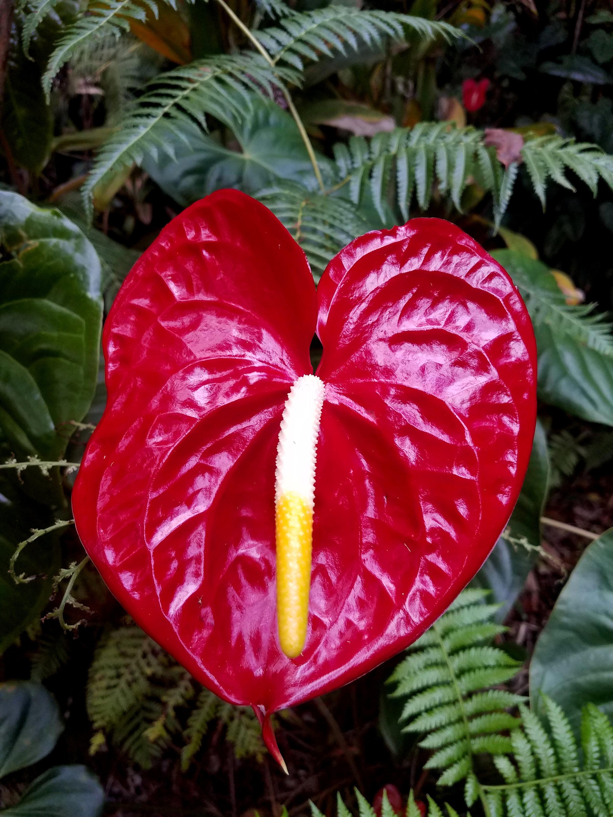 Tanaka Red Anthurium Hawaii Always Anthuriums.jpg.jpg