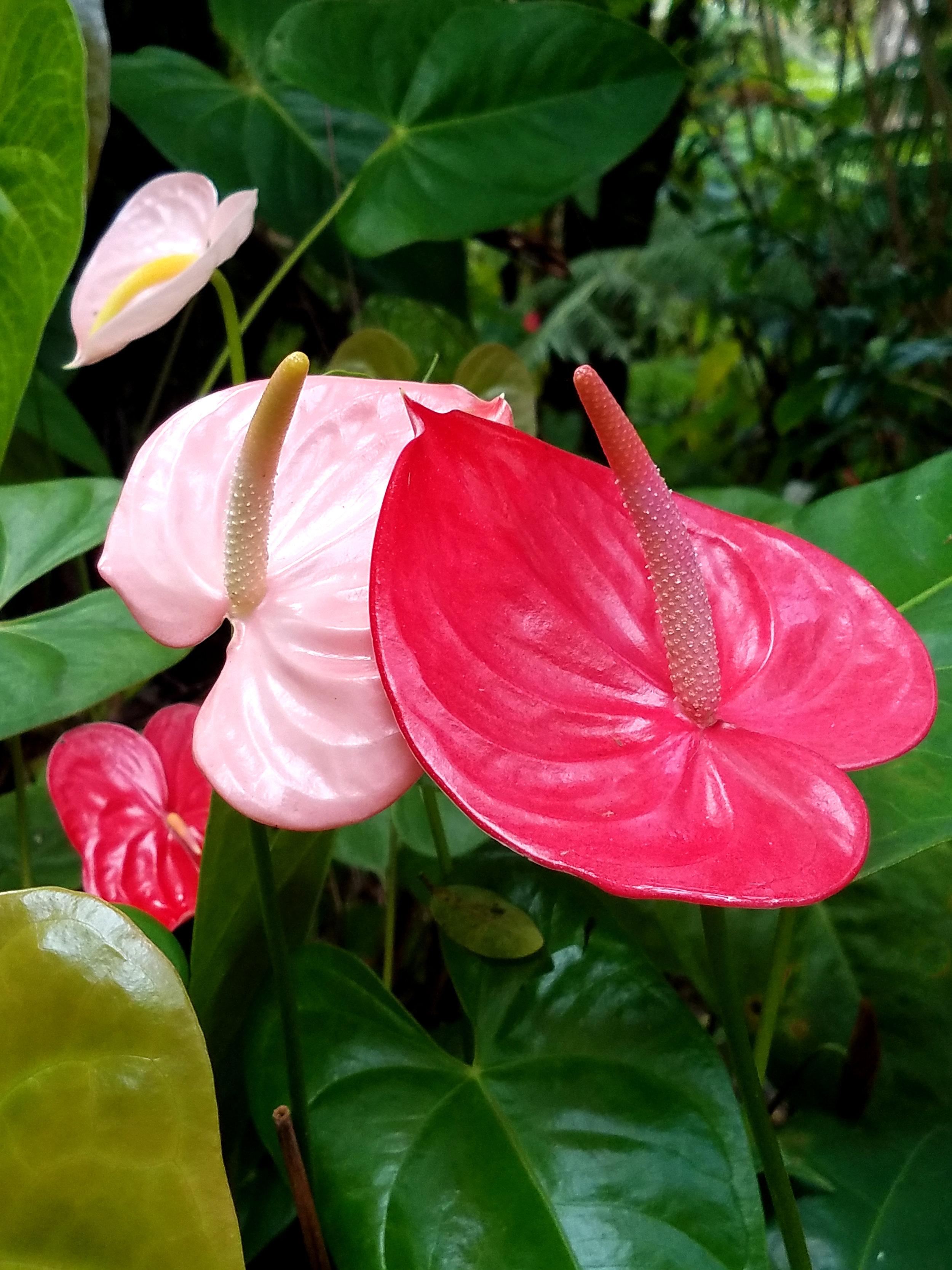 Abe Pink Anthurium growin g.jpg