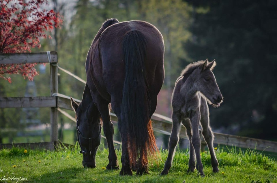 Breeders - BC - Heritage CanadiansCherry Creek CanadiansMountain View Canadian HorsesDouble Diamond RanchBuffalo Creek CanadiansSterling CanadiansEbony Breeze Canadian HorsesPhoto: Island Rose Billy Lucille & Heritage Fonzie Echo. Mares at Heritage Canadians.