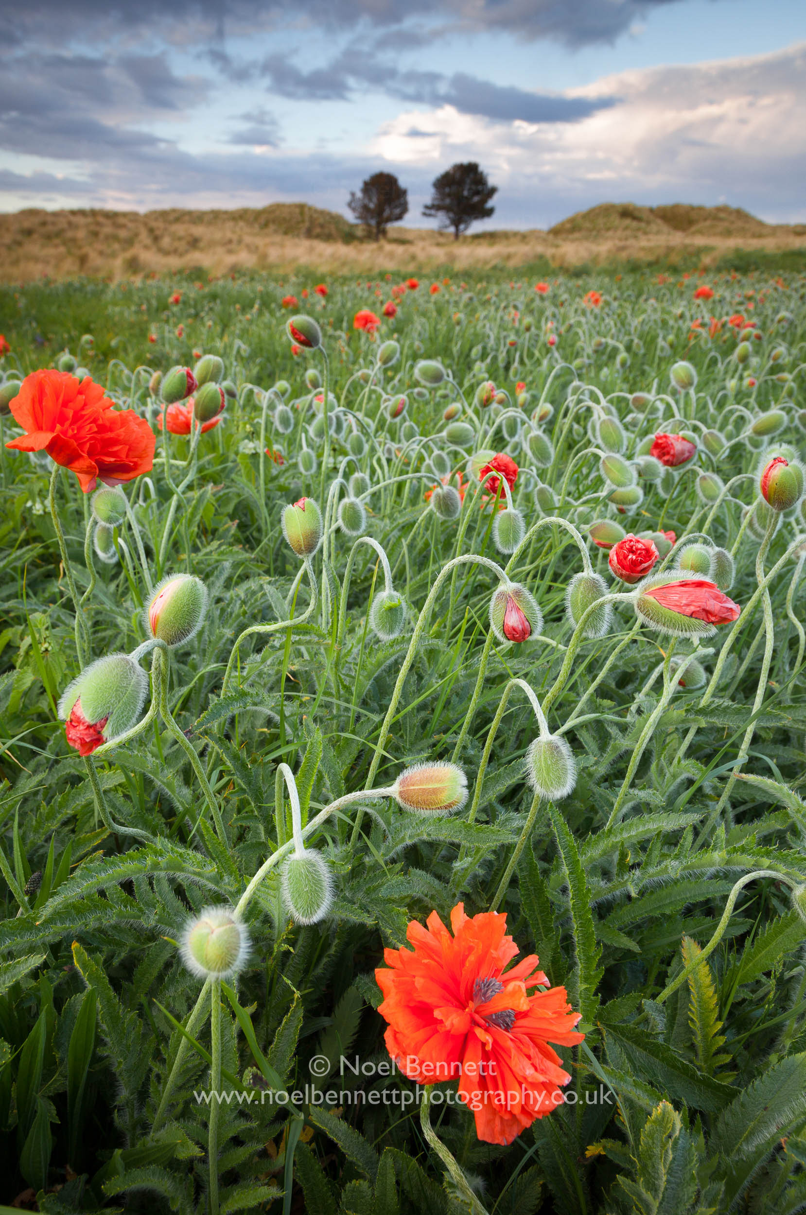 Bamburgh Poppies