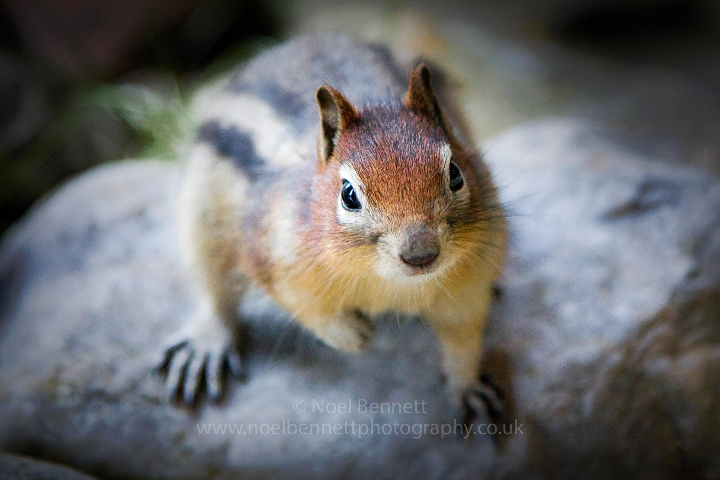Mantled Ground Squirrel