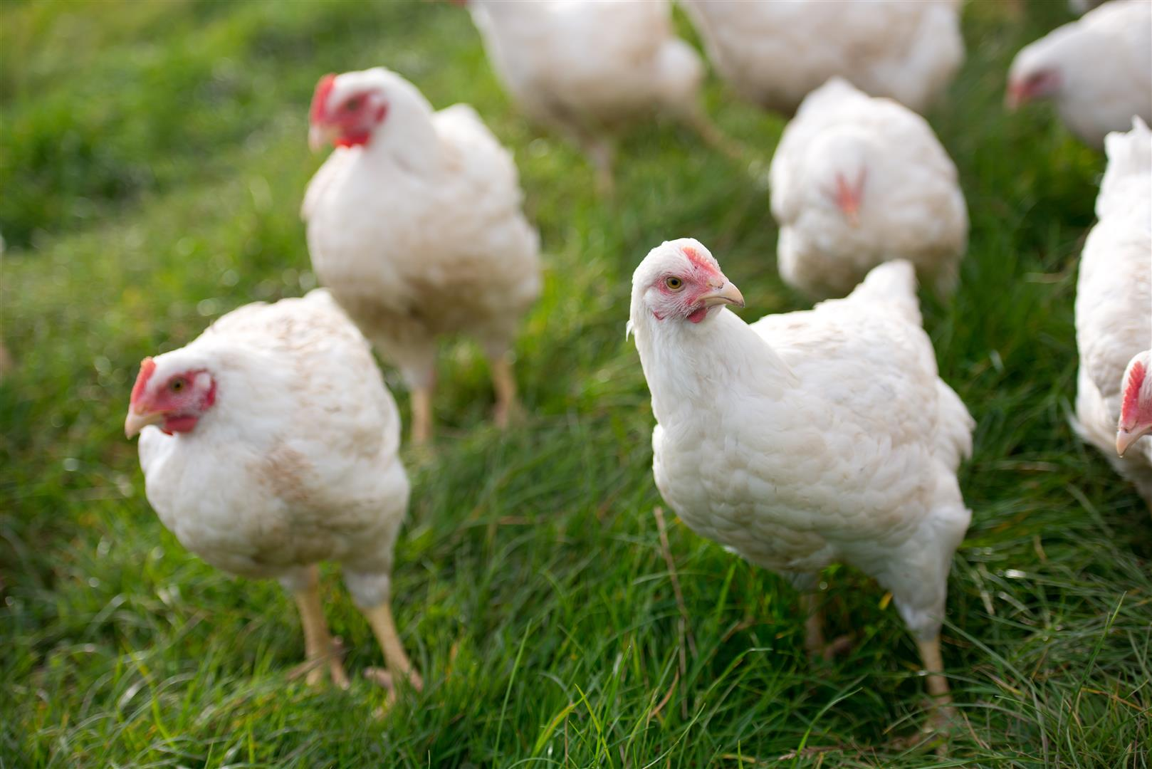 Organic Chicken - Know how your free range and organic chicken is farmed, slaughtered and prepared.