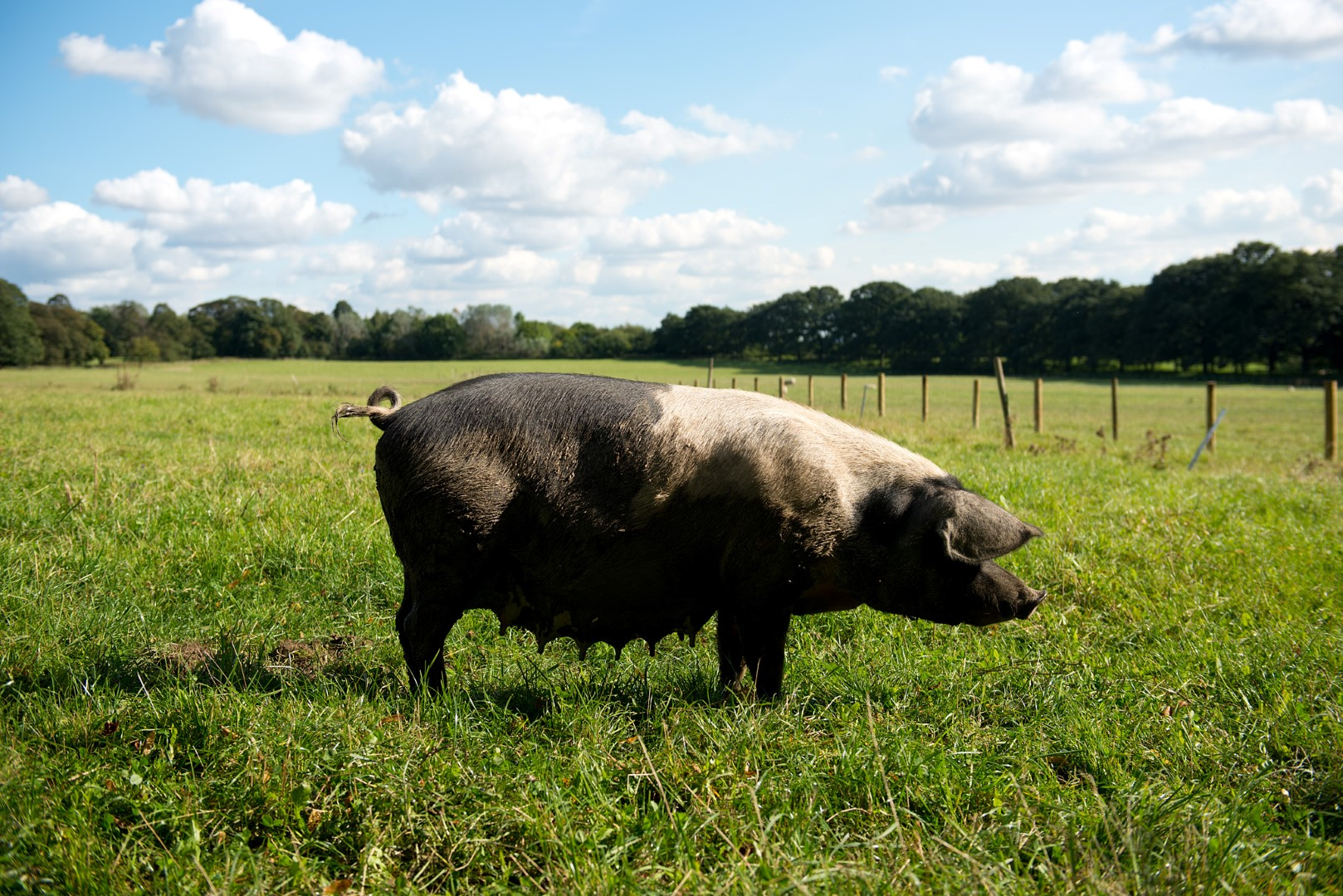Rare Breed Pork - Know how your free range and rare breed pork is farmed, slaughtered and prepared.