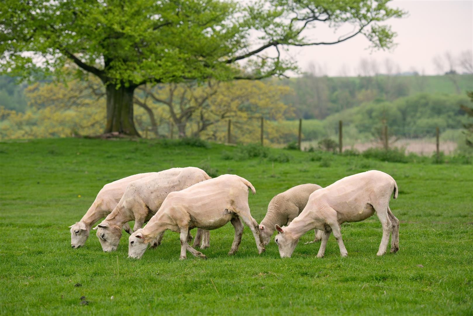 Organic Sheep - Know how your organic lamb and mutton is farmed, slaughtered and prepared.