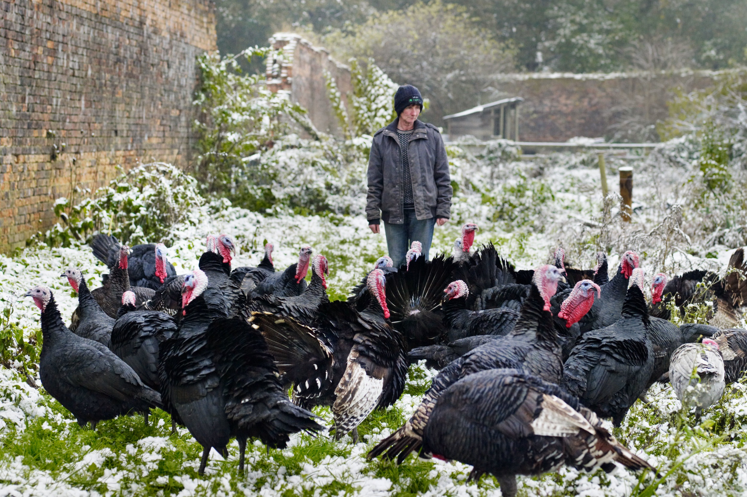 Organic Turkeys - Know how your free range and organic turkeys are farmed, slaughtered and prepared.