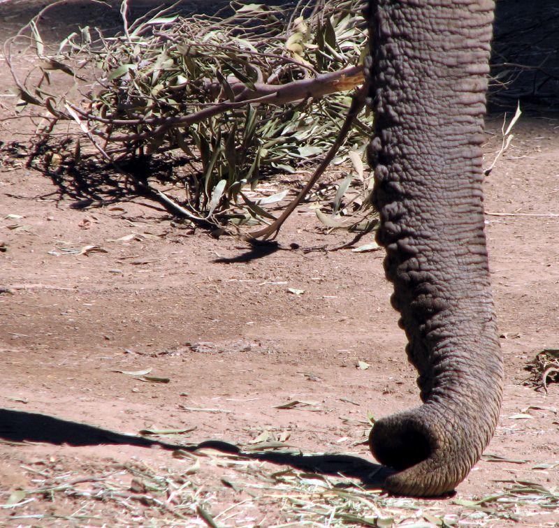 African_Elephant_Trunk.jpg