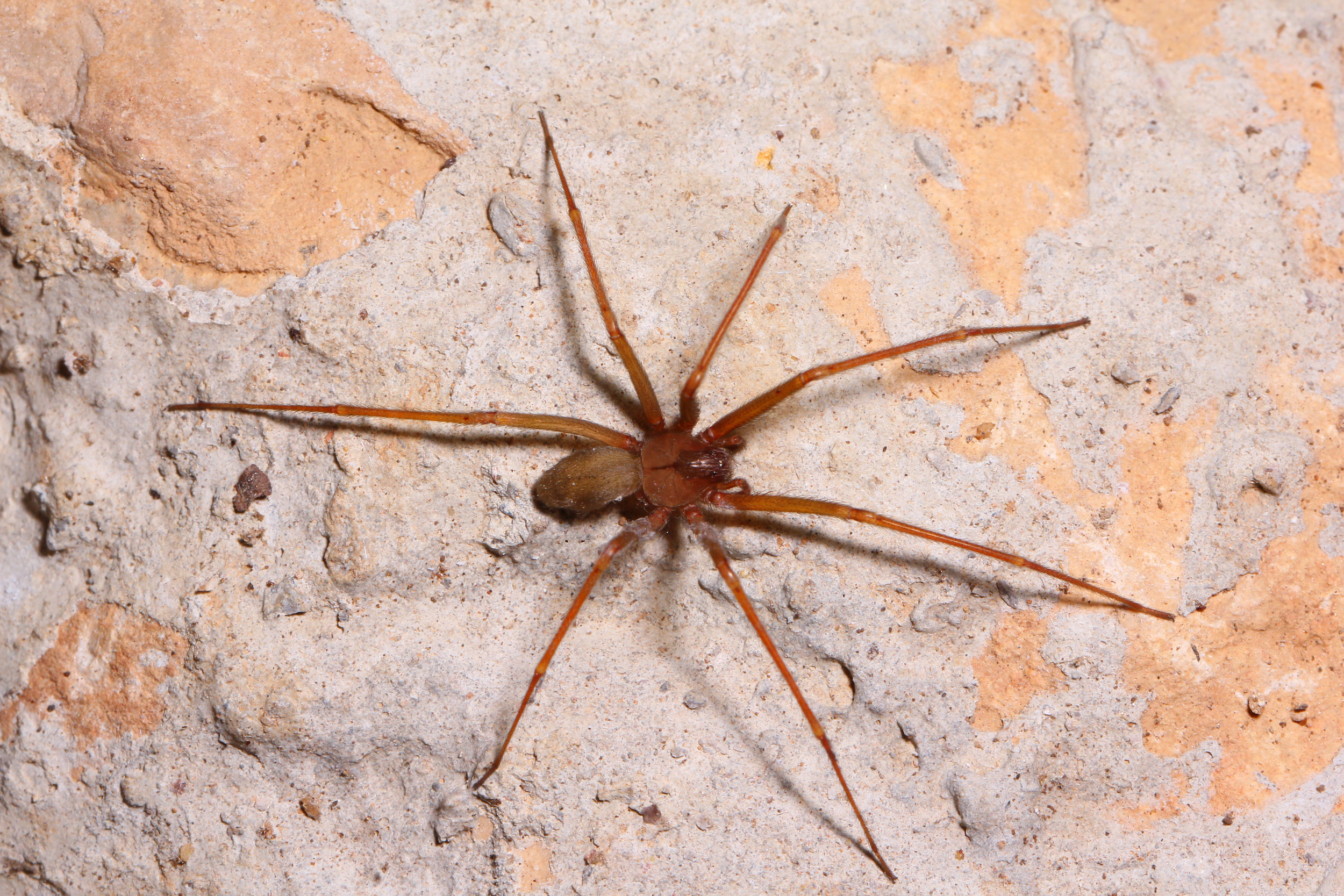 Brown Recluse Spiders -