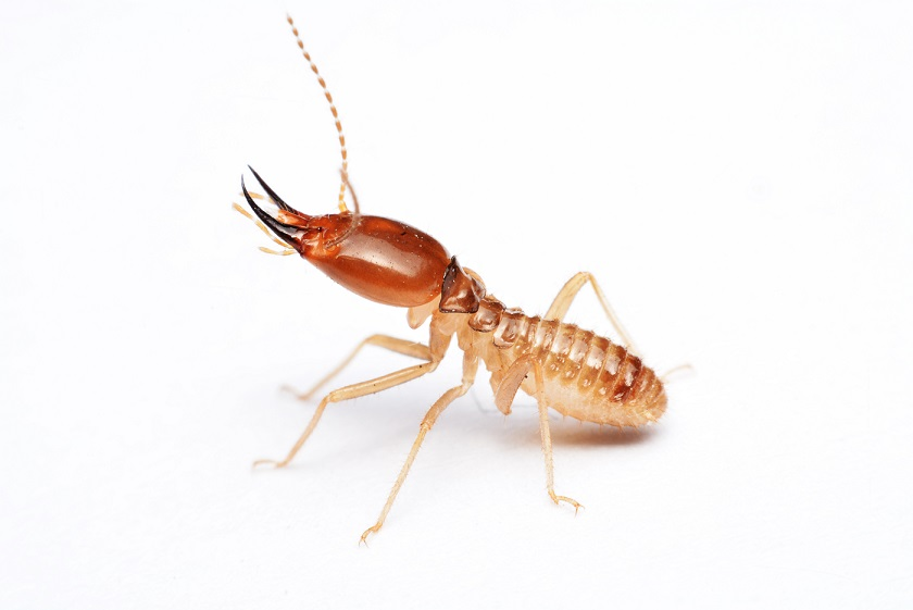 termite-small.jpg
