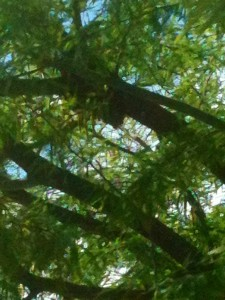 The dark spot on the branch, almost in the middle of the picture, these are bees grouping up.