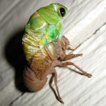 A cicada molting.