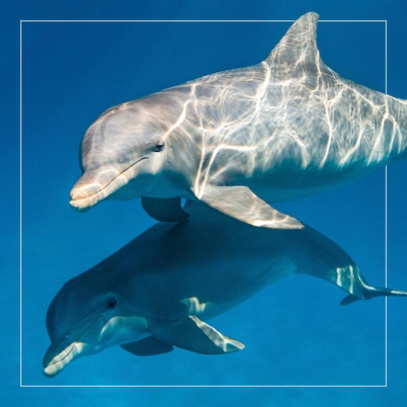 dolphins  av