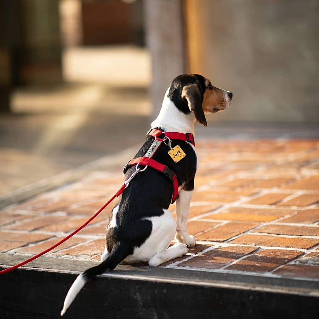 heodog beagle.jpg