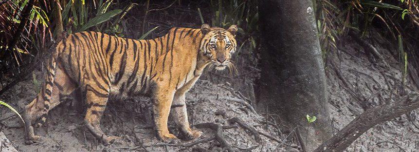 tiger_sundarbans_tiger_reserve_22-07-2015-e1465301992828.jpg