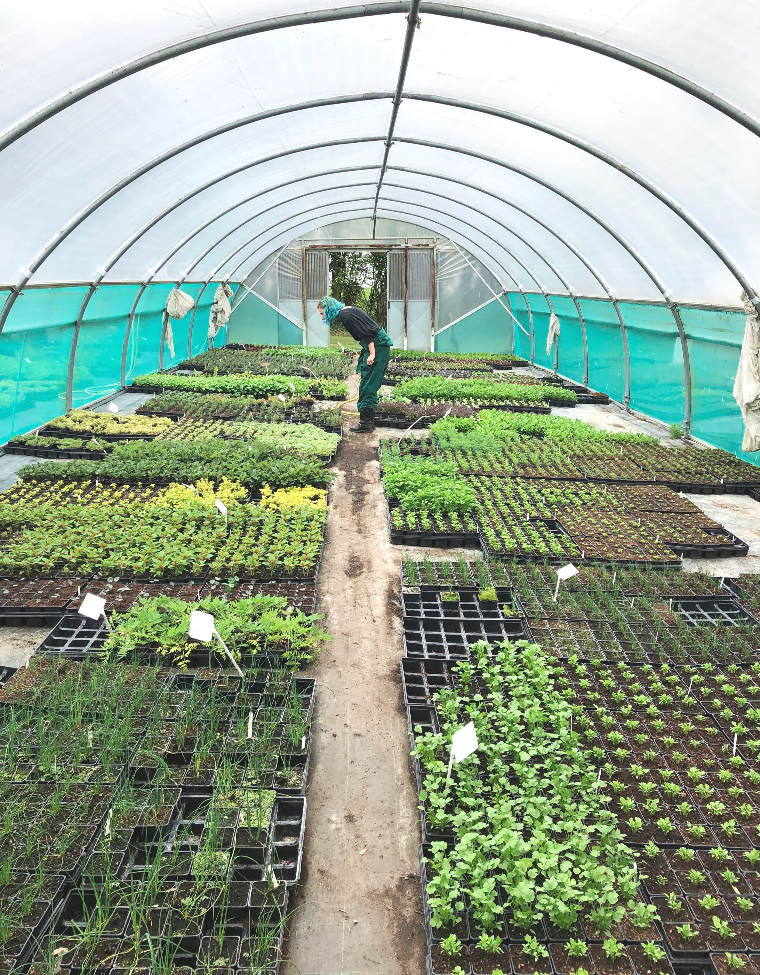 Gemma choosing plants in the polytunnel at Herbal Haven, April 2019.
