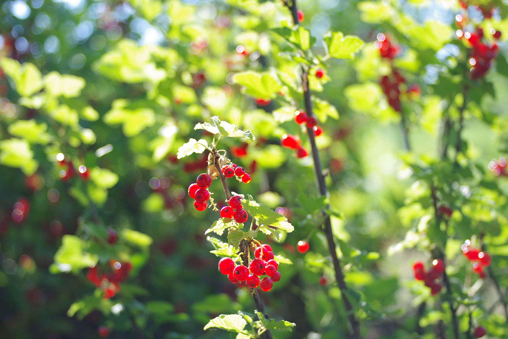 Redcurrants - Readily Available