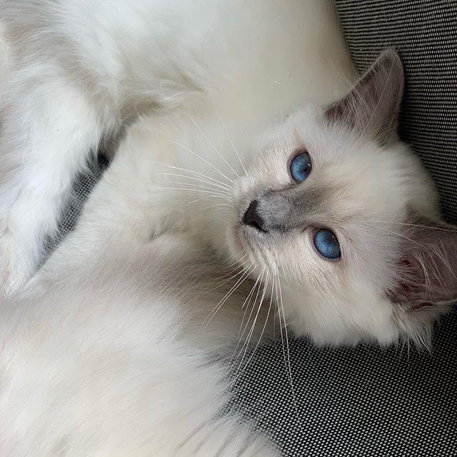 Sweet #jade_😽 • • • • • #catsofinstagram #cats #catstagram #instacat #kitty #kitten #catlover #猫 #meow #catoftheday #birman #birmancat #birman_feature #_meows #thedailykitten