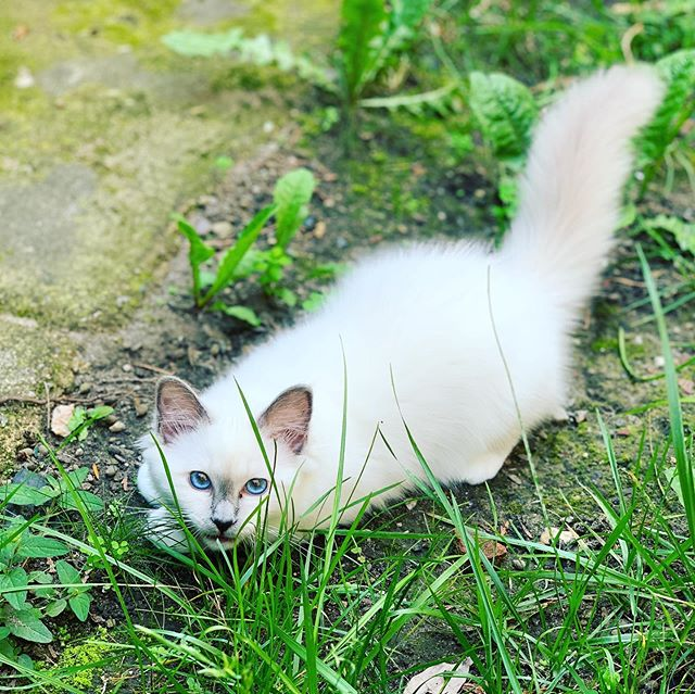Oh no... they discovered the garden 😹 🍃 #jade_😽 • • • #catsofinstagram #cats #catstagram #instacat #kitty #kitten #catlover #猫 #meow #catoftheday #birman #birmancat #birman_feature #_meows #thedailykitten