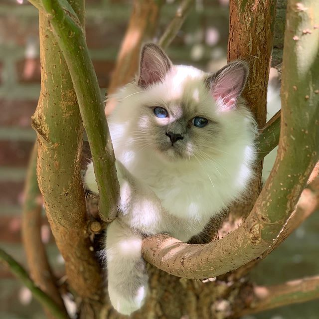 #odin_😸 chillin' on the tree 🌲 • • • • • #catsofinstagram #cats #catstagram #instacat #kitty #kitten #catlover #猫 #meow #catoftheday #birman #birmancat #birman_feature #_meows #thedailykitten