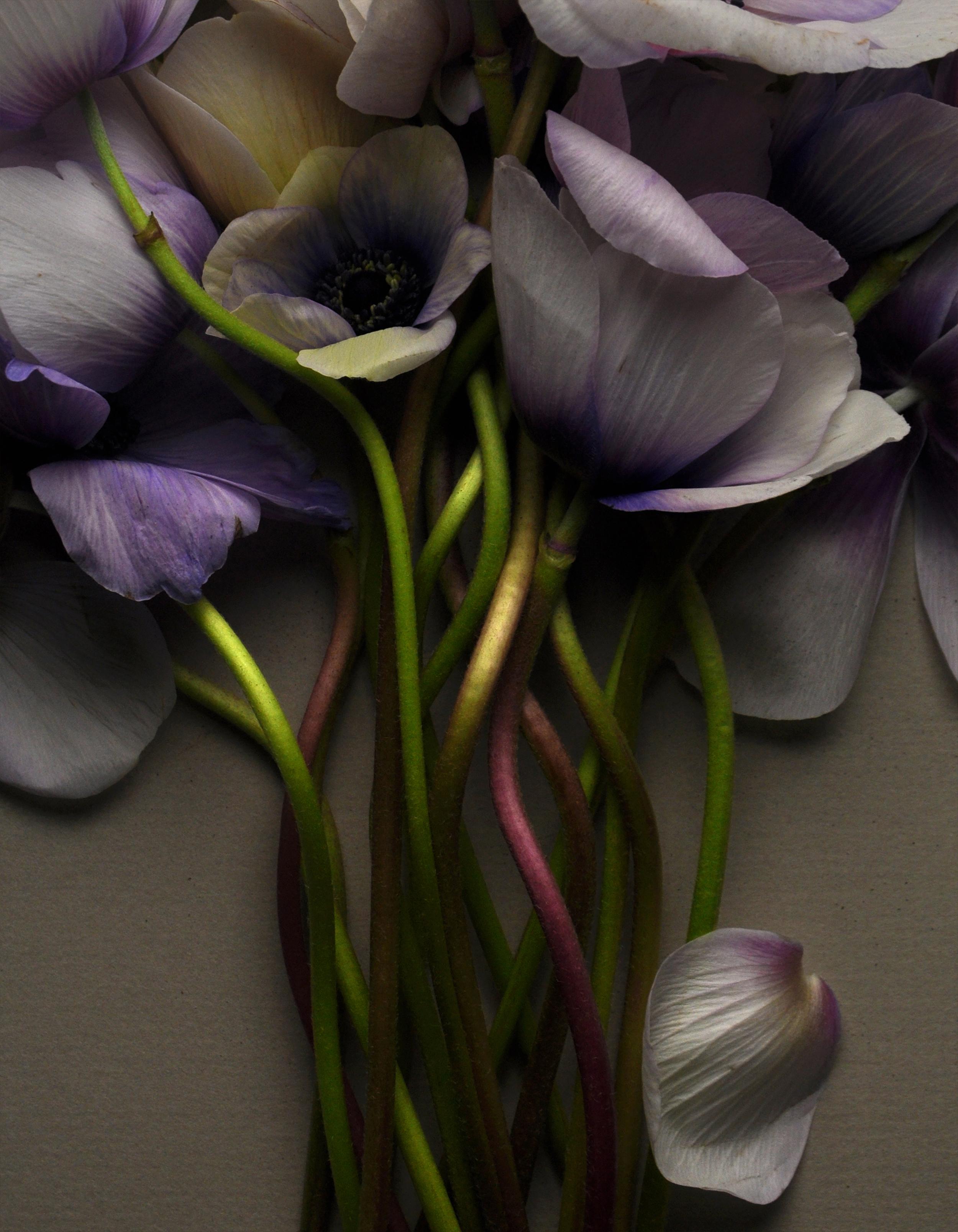 Purple Anemones No 5