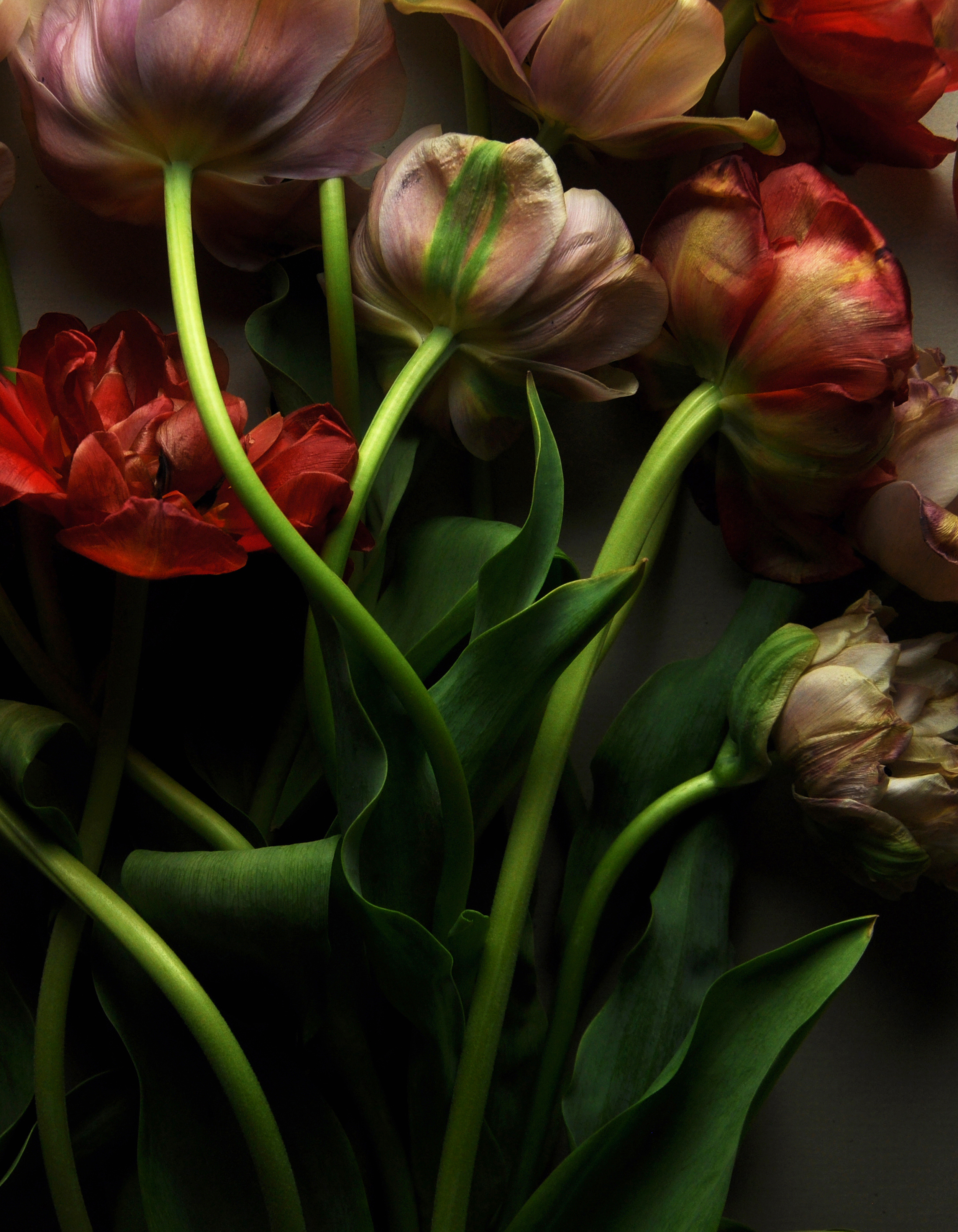 Belle Epoque and Red Tulips No 1
