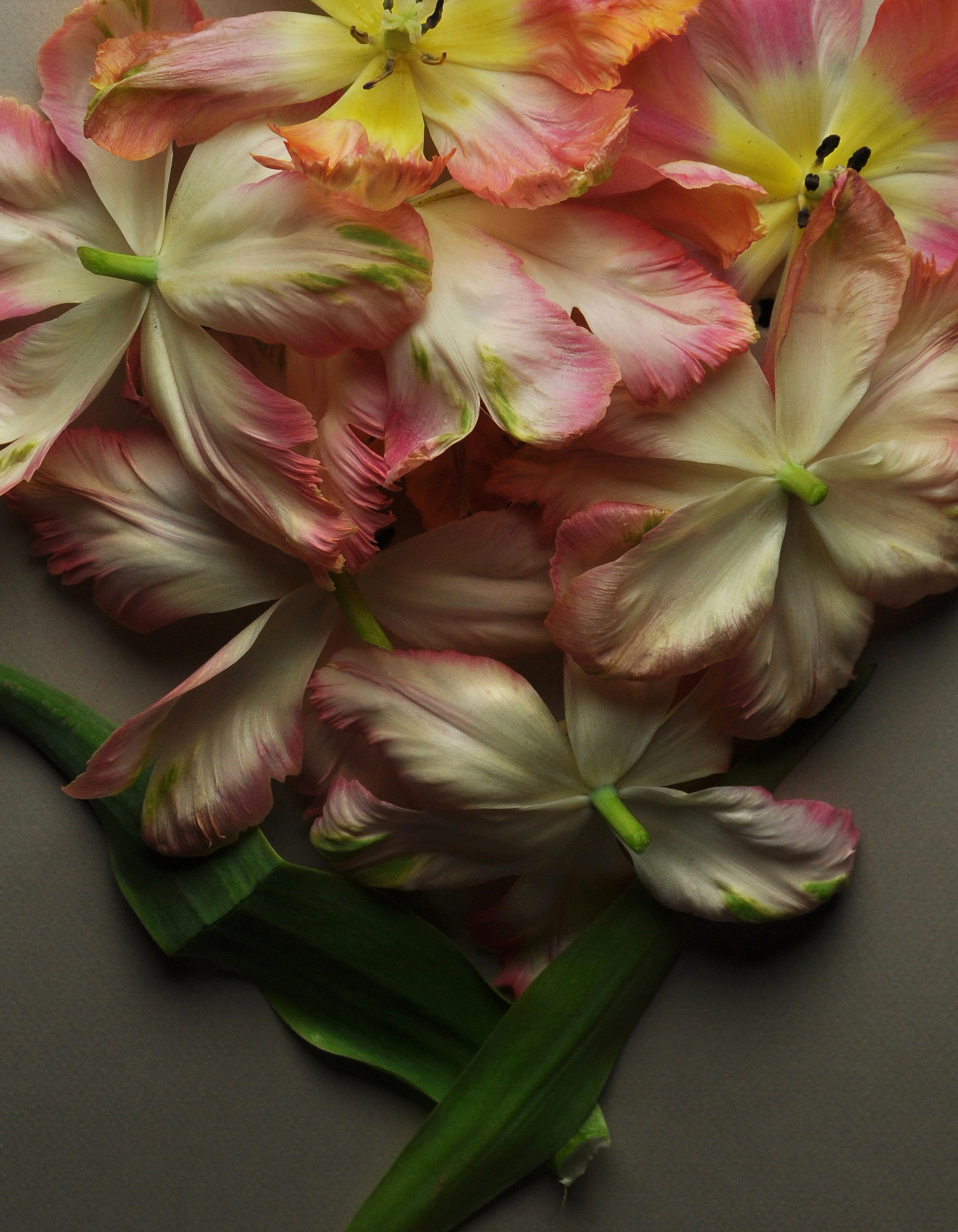 Varicolored Parrot Tulips No 5