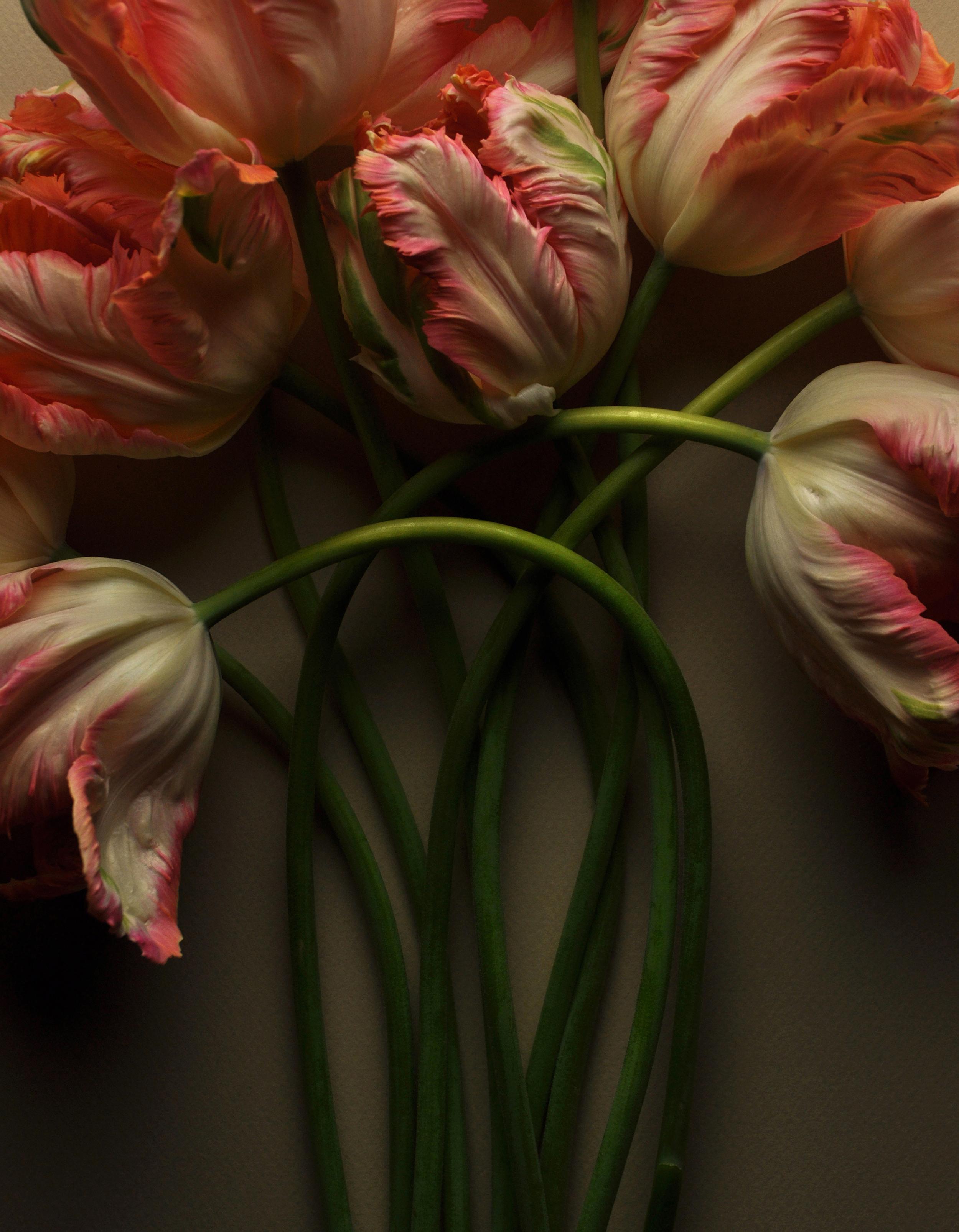 Parrot Tulips 19 No 1