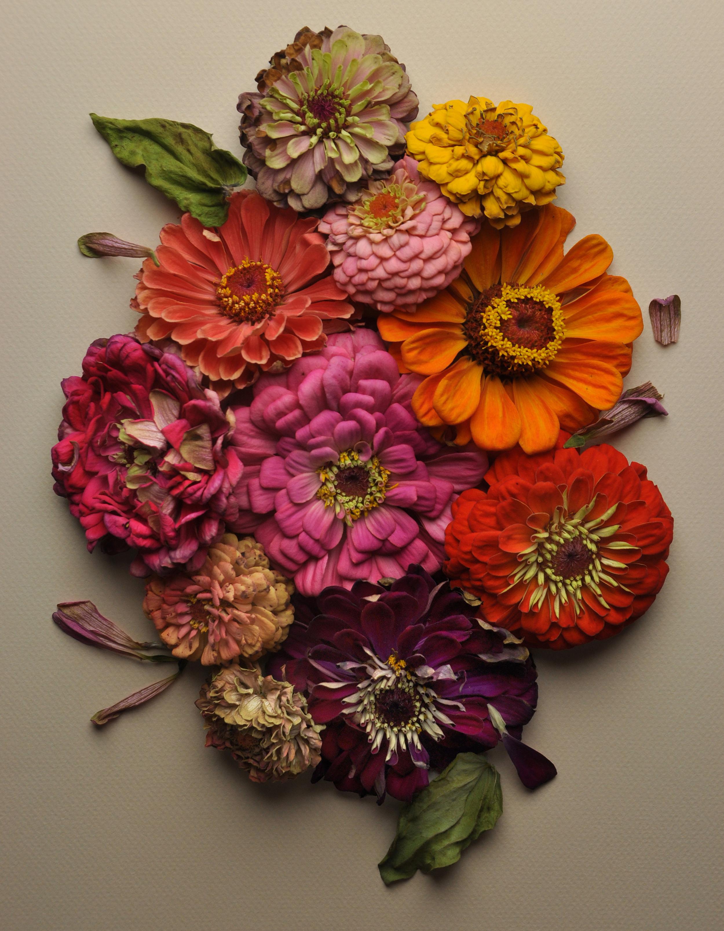 Multi Colored Zinnias No 4
