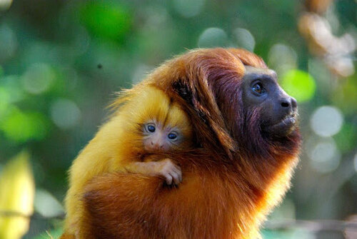 Golden Lion Tamarin Adult and Infant  Photo: Andréia Martins / AMLD