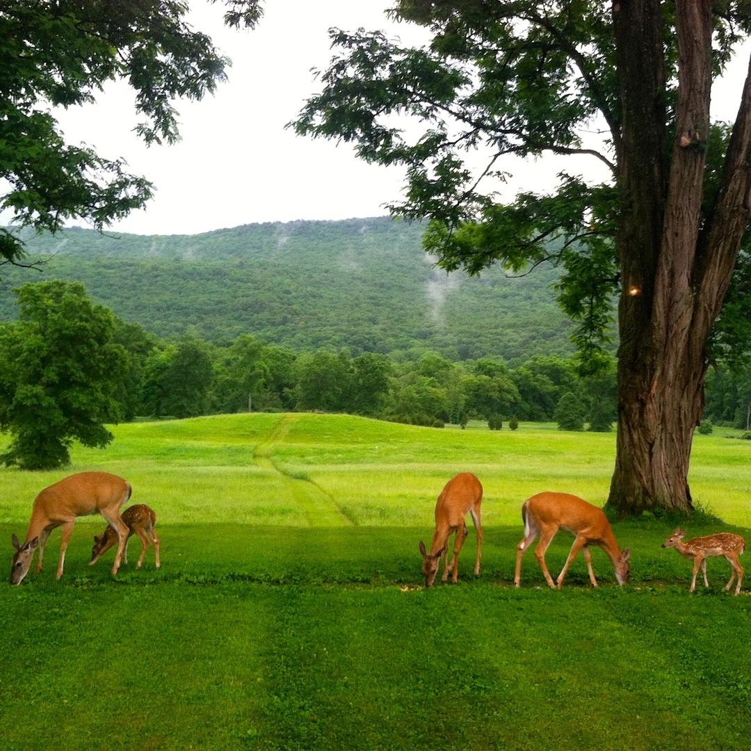 Summer+Deer+.jpg