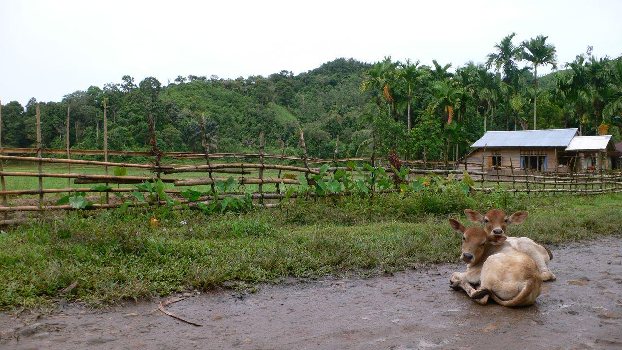BC INdo Pesesir Selatan cows.jpg