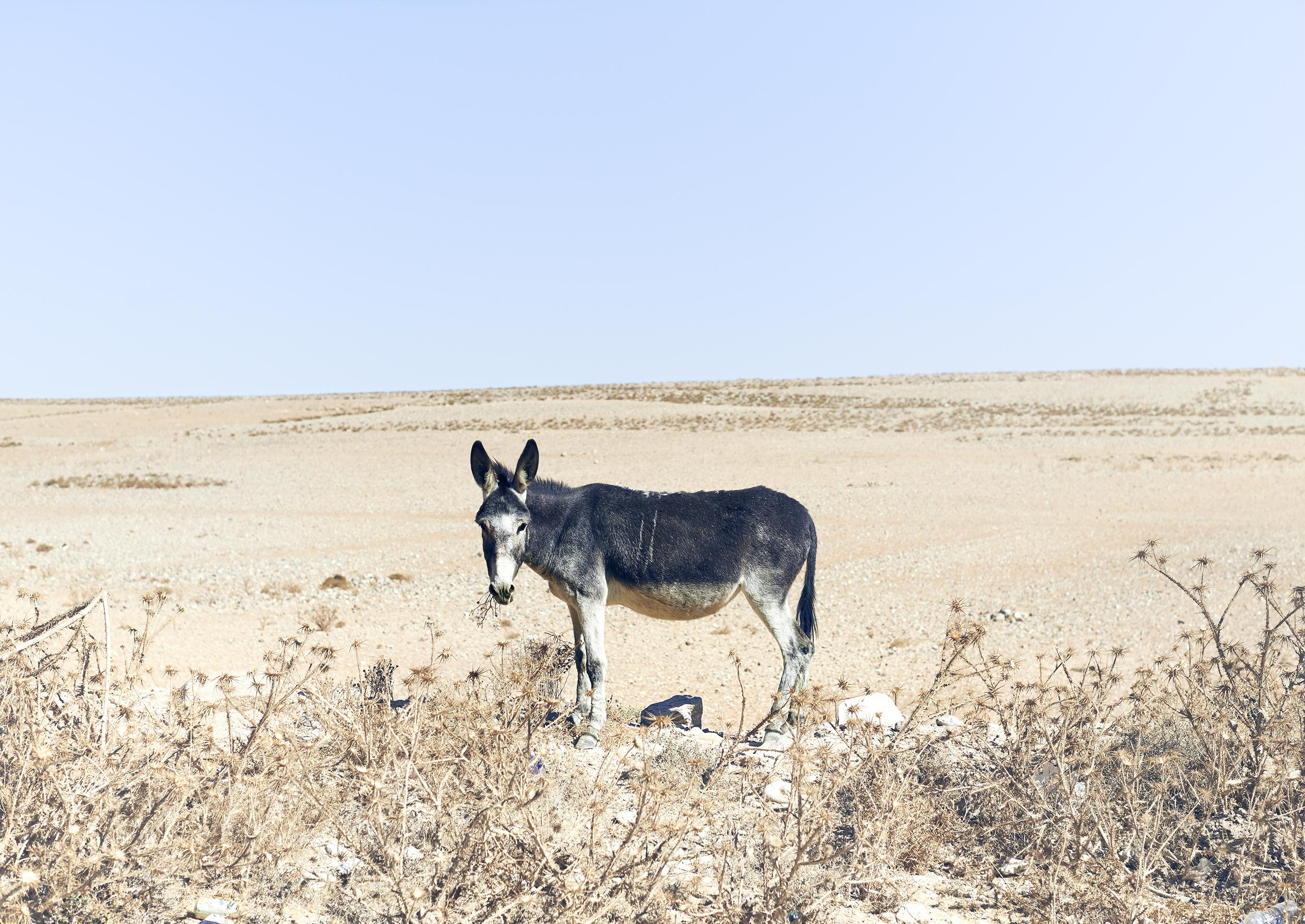 ZO_Donkey, Jordan, 2013.jpg