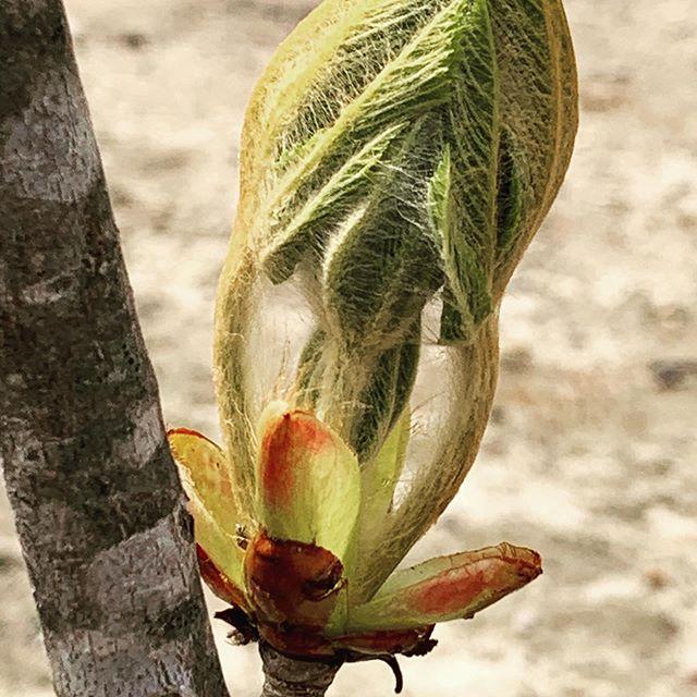 Horse chestnut tree ready to burst..... #horsechestnut #herbalmedicine #ancientknowledge #usefulplants #plantsasmedicine #spring #varicoseveins