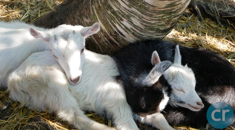 Baby goats sleeping