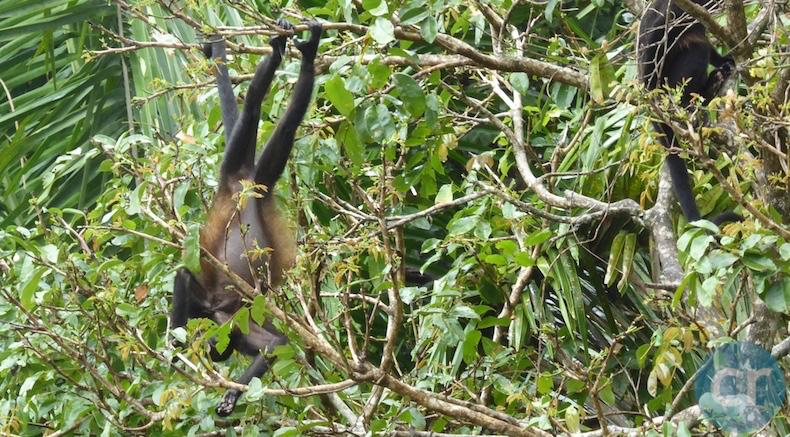 Howlower Monkeys in Panama Canal    CruiseReport