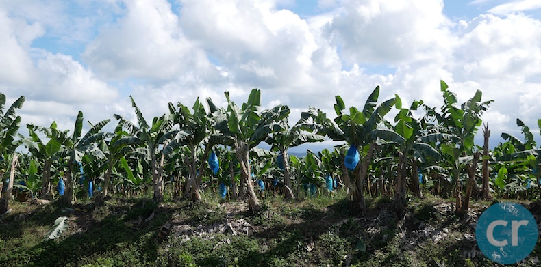 Banana plants with blue bags over the bunches