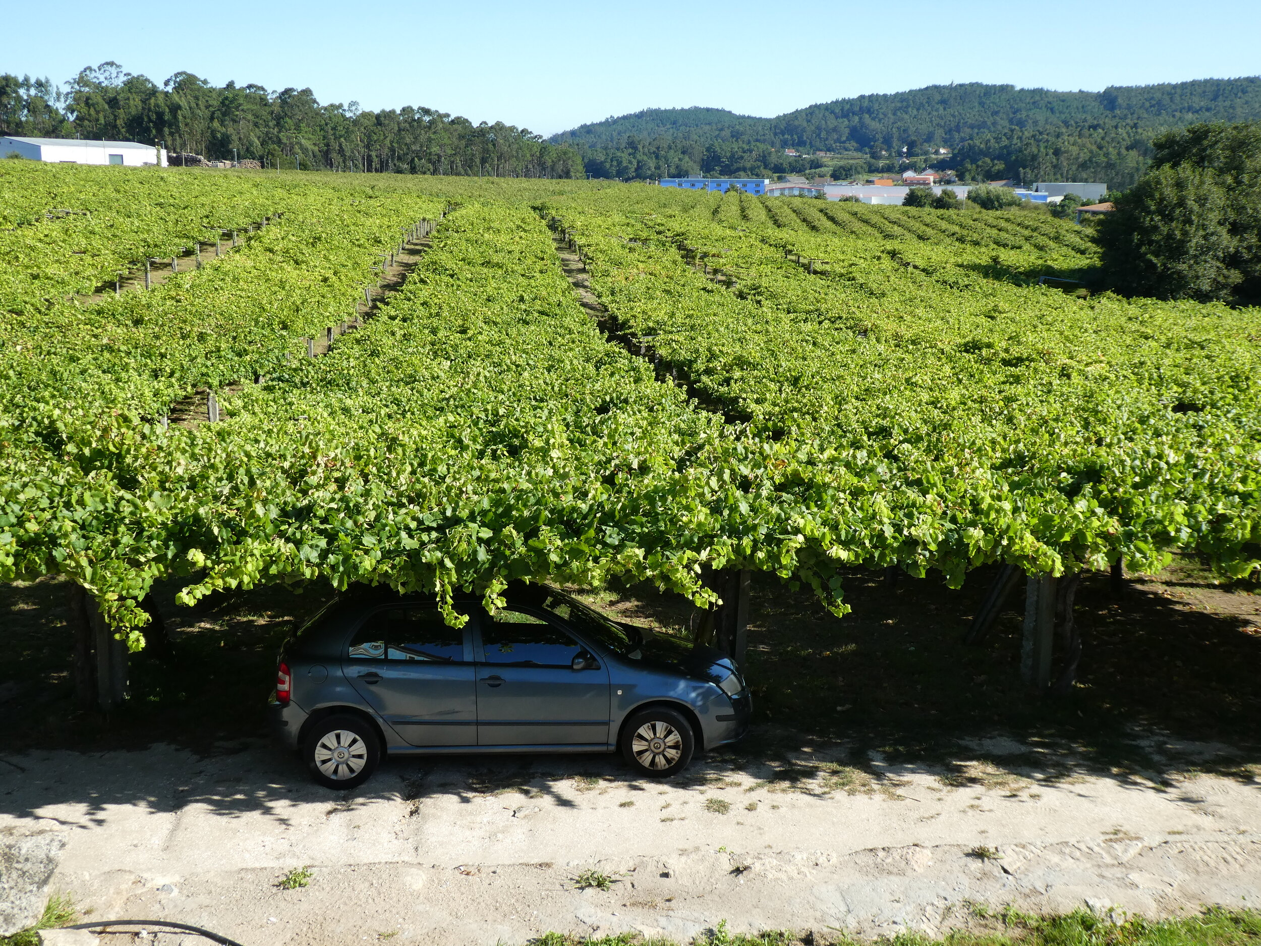 Vineyard in Galician Region of Spain. High enough to provide shade