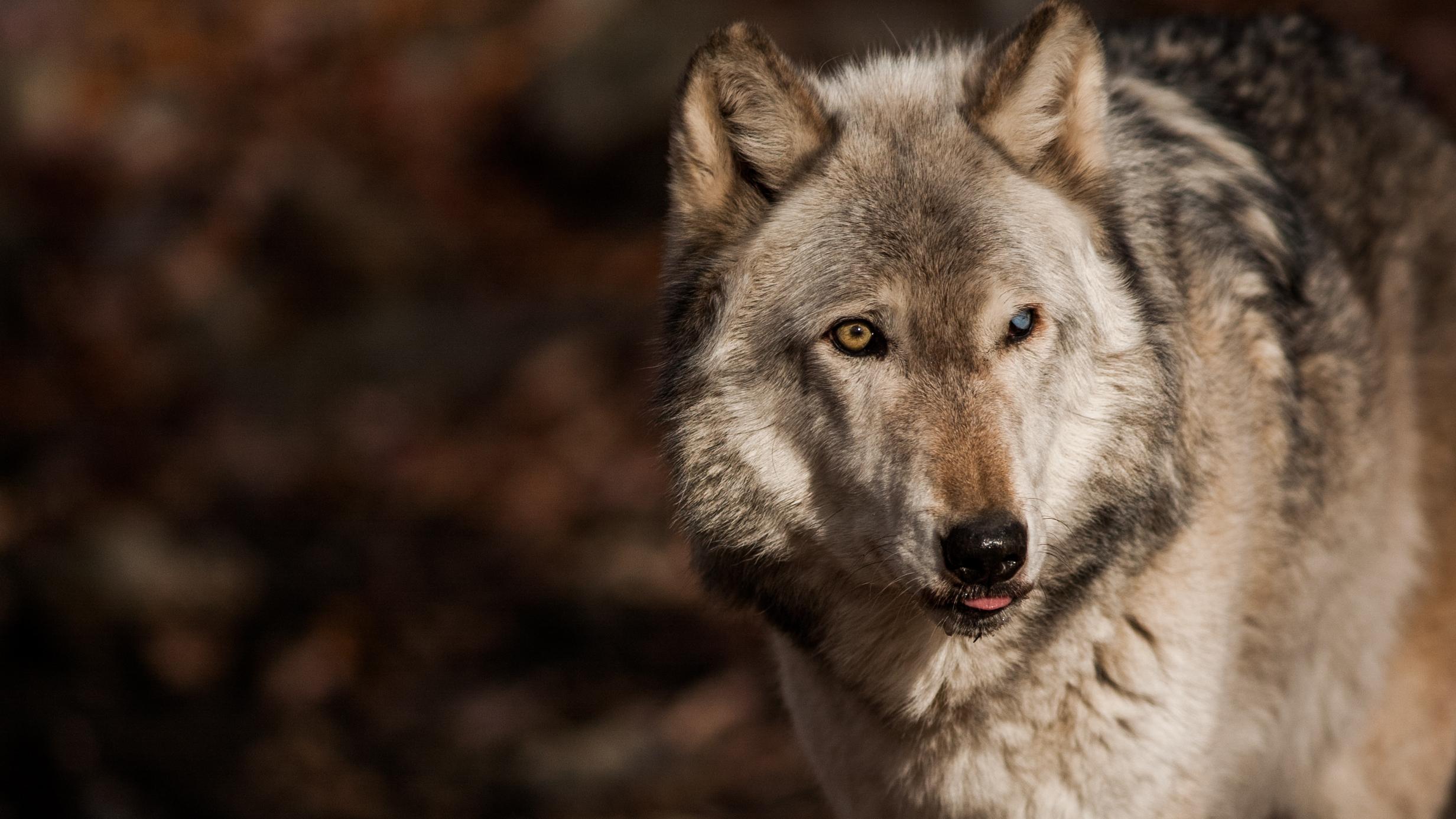 lakotawolf-996.jpg