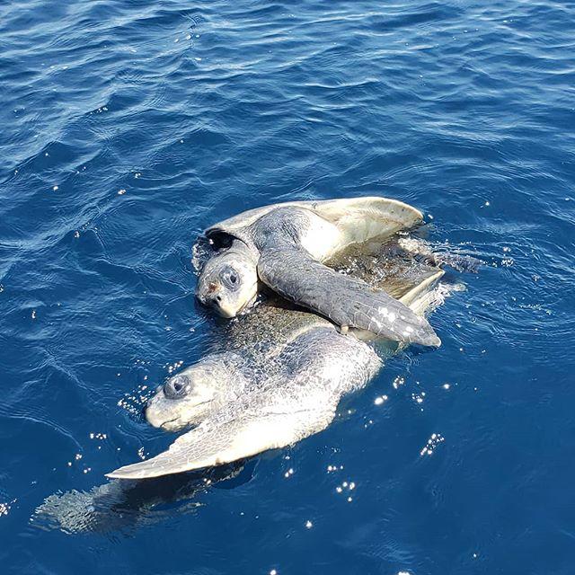 Let's get it on! Turtle Love #costarica🇨🇷 #ocean #seaturtles  #nature #sea #lifestyle #luzalifestyle #gratitude #love